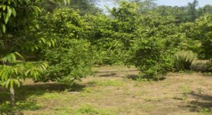 Orchard citrus trees